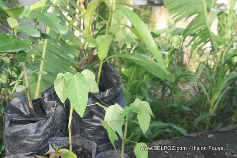 PHOTO: Tree seedlings for sale in Haiti