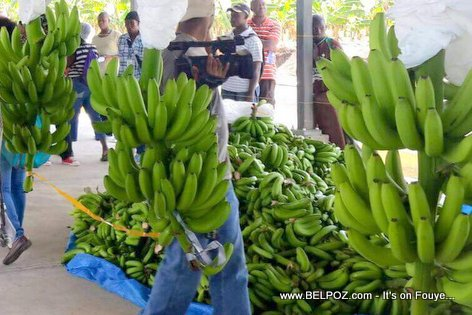 PHOTO: Haiti Agriculture - Bananas Ready for Export