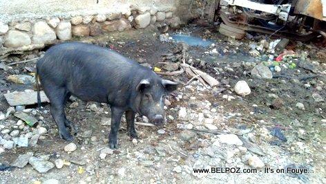 PHOTO: Hinche Haiti, Cochon ap Raboure Lari a...