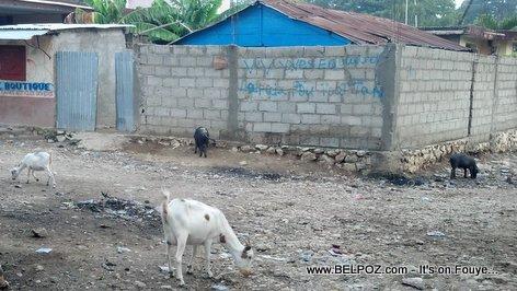 Hinche Haiti Sept 2015 - Cochon ak Kabrit nan lari a