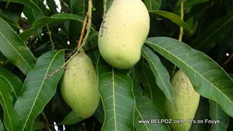 PHOTO: Haiti - Mango Fransik