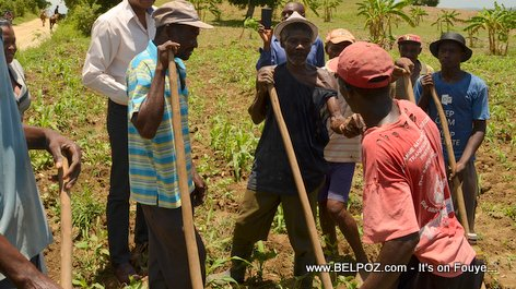 Konbit : Haitian Farmers working together planting crops in Plateau Central Haiti