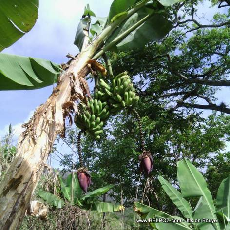 Look... This Banana Tree is Having Twins