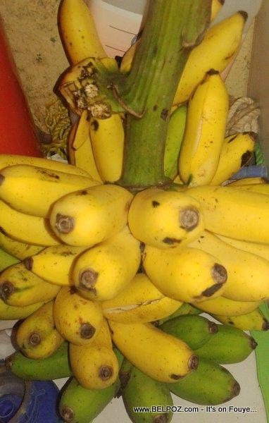 Apple Bananas from Haiti - Also called Cavendish bananas