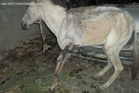 Horse in Haiti with Broken Leg