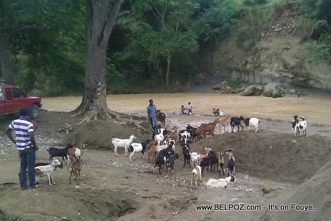 Yon pakèt Kabrit achte Haiti pou al vann Sen Domeng