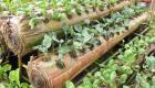 Haiti Agriculture - Plante vegetable nan bwa bannan - Yon lide Haitien ka itilize