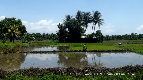 PHOTO: Haiti Agriculture - Rice field in the Artibonite Valley