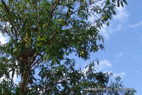 PHOTO: Haitien sou pye mango